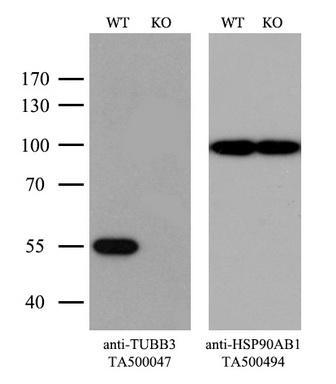 OriGene Antibody ta500047