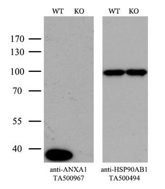 OriGene Antibody ta500967