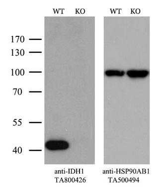 OriGene Antibody ta800426