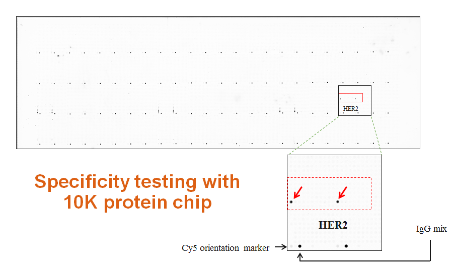 anti-her2 validation with 10k protein chip