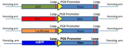 HDR CRISPR gene knockout donor