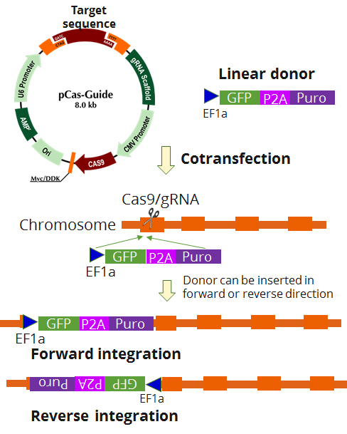 KN2.0 CRISPR Gene Knockout Diagram