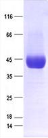 SARS-CoV-2 S蛋白