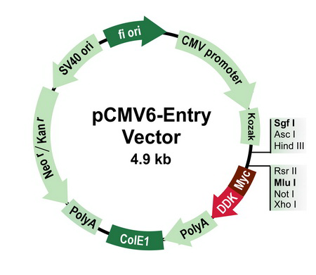pCMV6-Entry Tagged Cloning Vector – PS100001 | OriGene