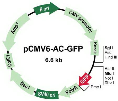 pcMV6-AC-GFP Vector Image