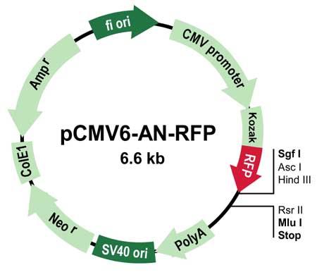 pcMV6-AN-GFP Vector Image