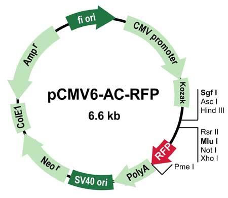 pcMV6-AC-RFP Vector Image