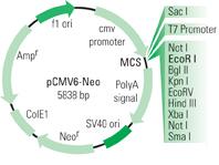 pCMV-Neo vector