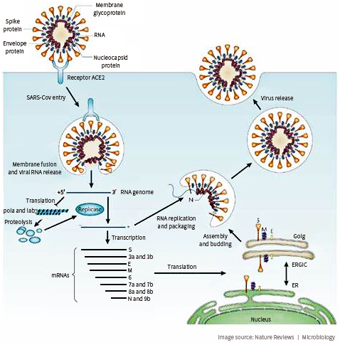 Figure 2. Coronavirus Infects Host Cell through ACE2 Receptor
