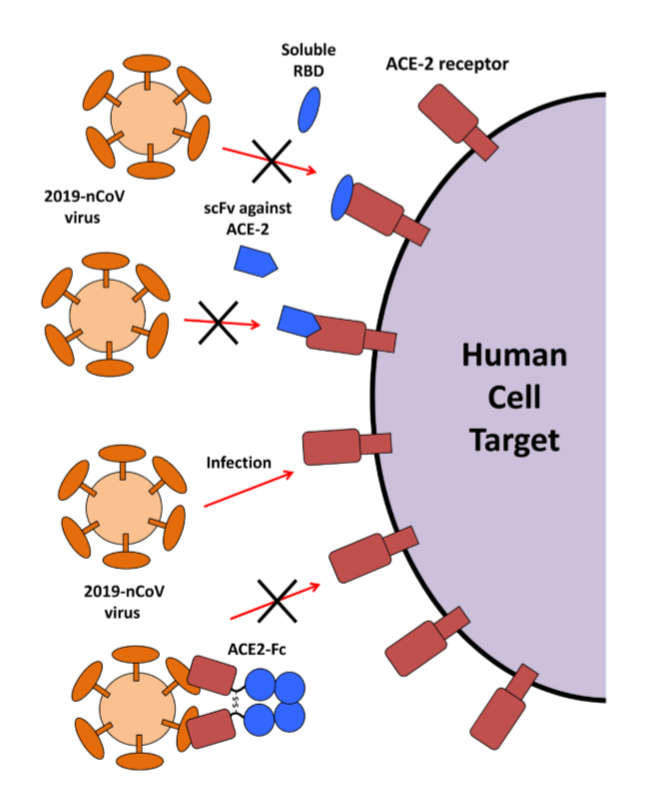 Figure 3. Potential Therapeutic Agents to Block Coronavirus Infection