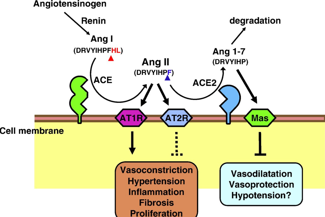 Figure 4. Schematic diagram for the role of ACE2 in the renin–angiotensin system