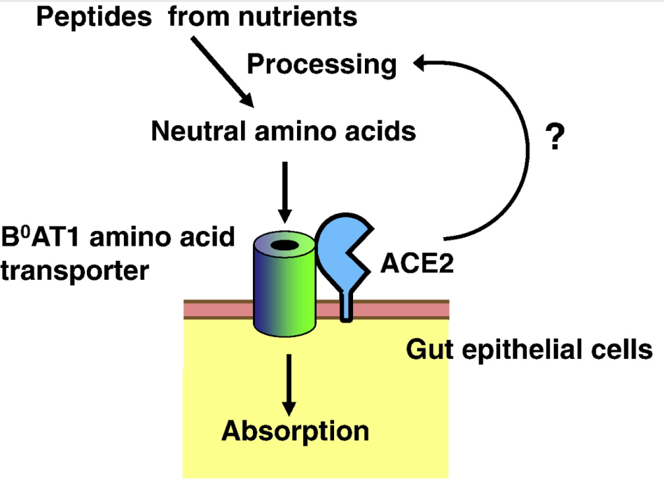 Figure 5. Interaction of ACE2 with the B0AT1 amino acid transporter.
