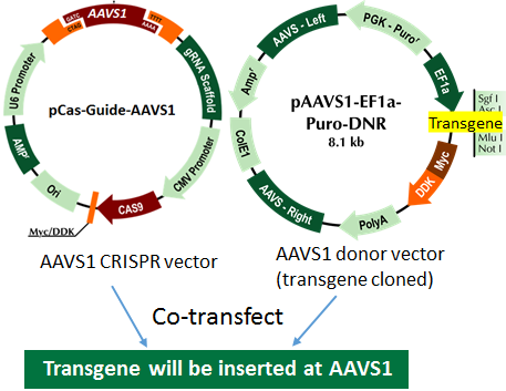 AAVS1 transgene knockin diagram