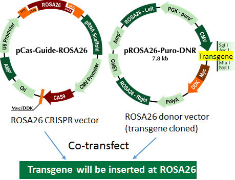 ROSA26 transgene knockin diagram