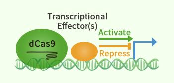 CRISPRa/CRISPRi diagram