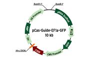 CRISPR/CAS9 Vectors