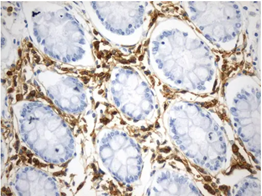 Human Colon tissue stained for CD38 with ultra specific antibody (UM800153)
