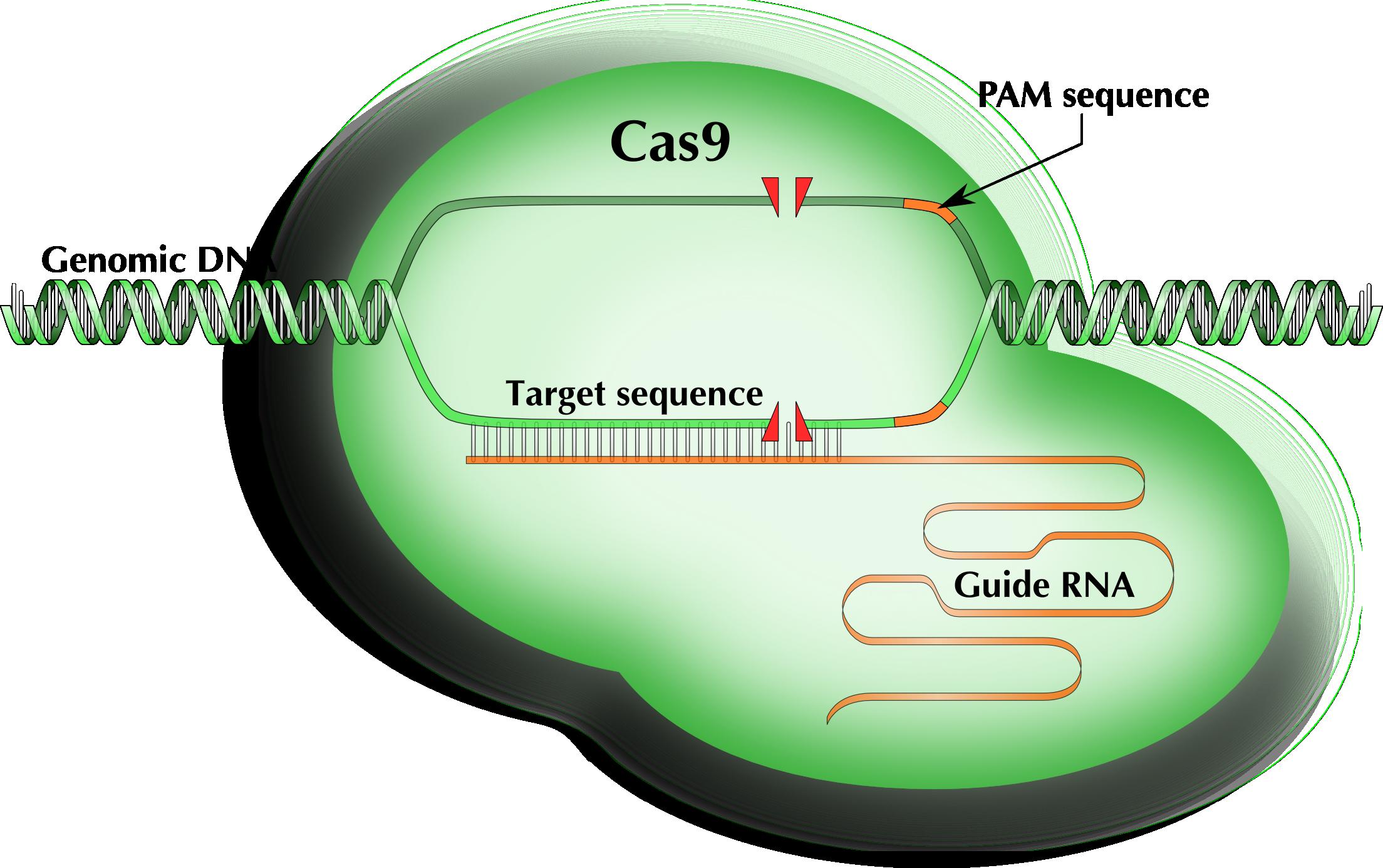 Cas9 protein