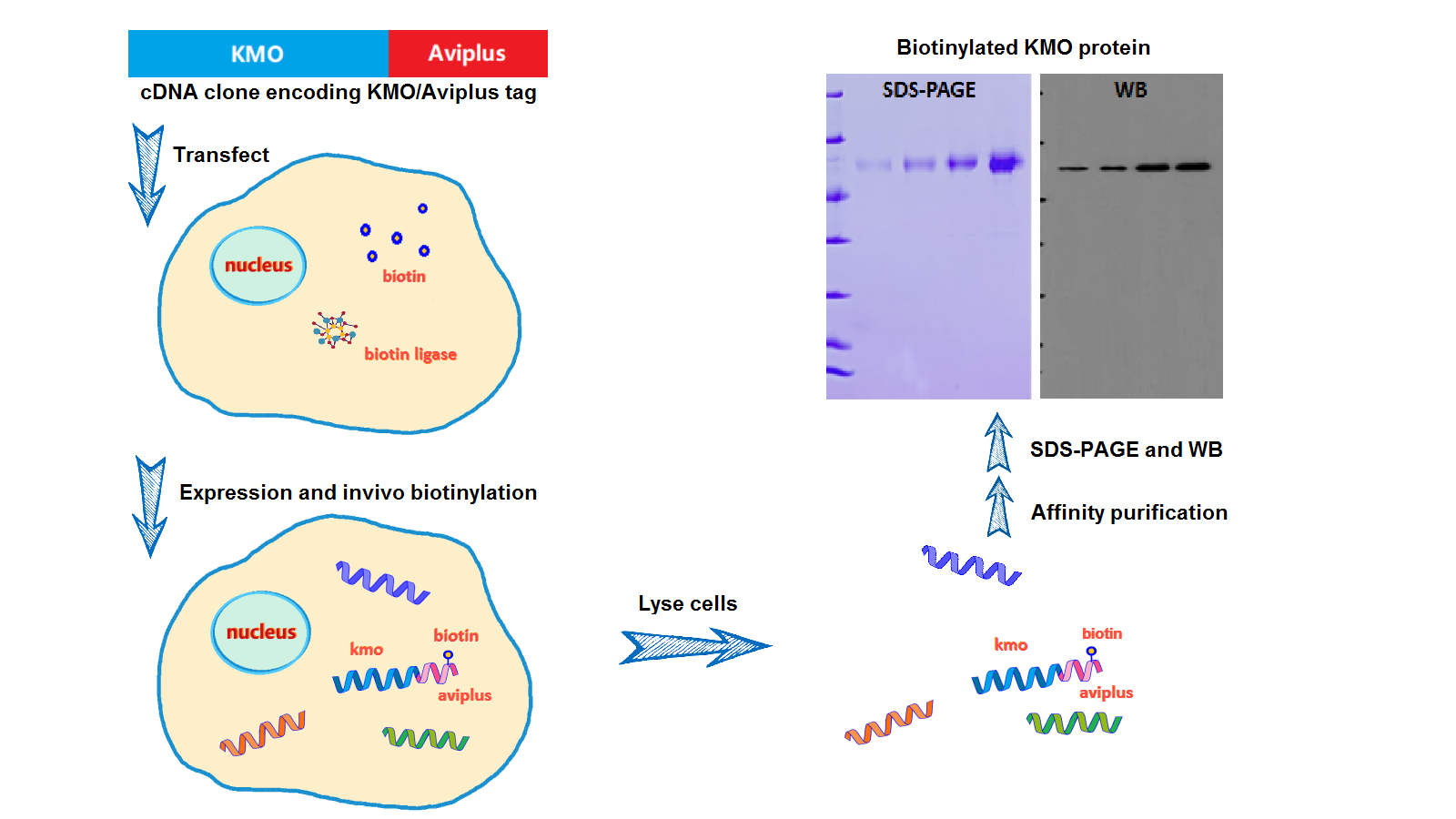 In vivo biotinylation via BBI-Tag technology