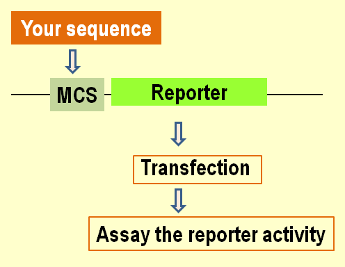 Reporter assay diagram