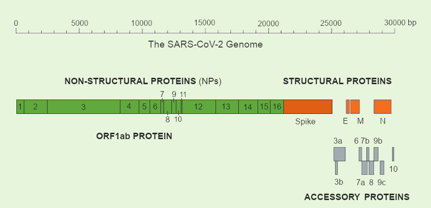 SARS-CoV-2 genome contains many protein coding genes including the major structural proteins (S, M, E and N), nsps and accessory proteins