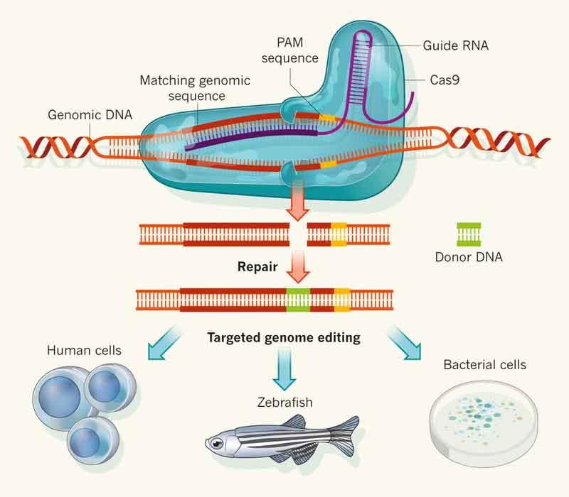 Cas9 Genome Editing