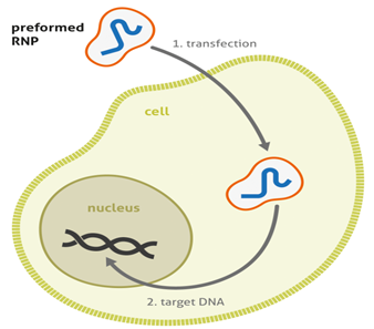 CRISPR RNP genome editing