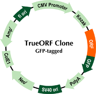pCMV6-AC-GFP Vector Map