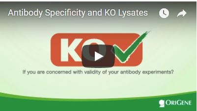 Video for KO Lysate Webpage